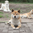 Japanese shiba inu rests — Stock Photo