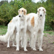 Borzoi hounds — Stock Photo