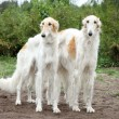 Stock Photo: Borzoi hounds