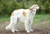 Russian borzoi hounds — Stock Photo