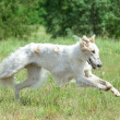 Russian borzoi dog running — Stock Photo