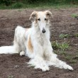 Stock Photo: Borzoi hound