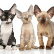 Stock Photo: Devon-Rex kitten group on white background
