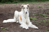 Borzoi hound — Stock Photo