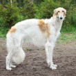 Stock Photo: Russiborzoi dog standing