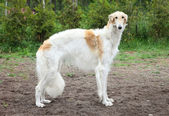 Russian borzoi dog standing — Stock Photo