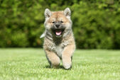 Shiba inu puppy running — Stock Photo