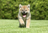 Shiba inu puppy running — Stock Photo