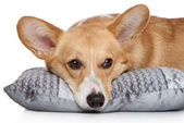 Welsh corgi Pembroke on soft pillow — Stockfoto