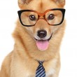 Постер, плакат: Finnish spitz dog Funny portrait