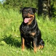 Rottweiler sits on green grass - Stock Photo