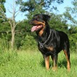 Rottweiler dog — Stock Photo #11596132