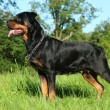Purebred rottweiler on green grass — Stock Photo