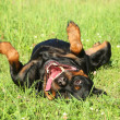Happy Rottweiler resting on green grass — Stock Photo #11596232