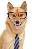 Perro spitz finlandés. retrato divertido — Foto de Stock