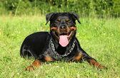 Rottweiler on green grass — Stock Photo