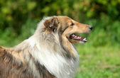 шетландские овчарка — Стоковое фото
