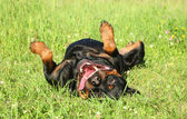 Happy Rottweiler resting on green grass — Stock Photo