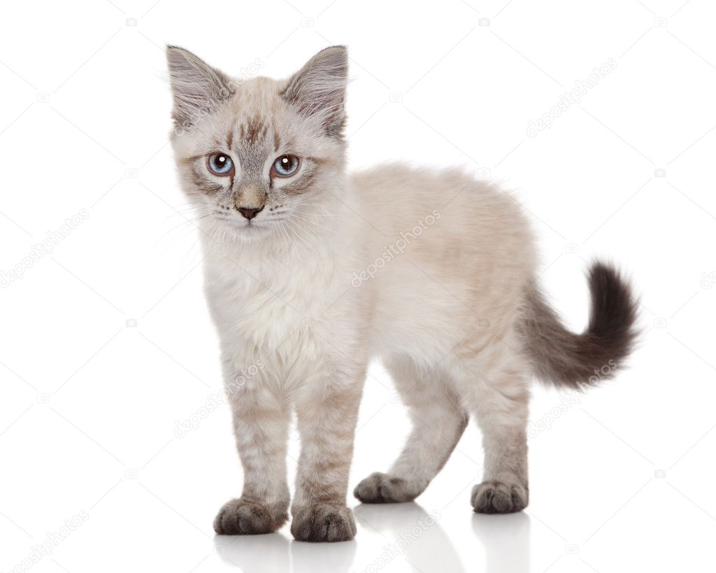 Siberian Neva Masquerade kitten on a white background  Stock Photo #11769549