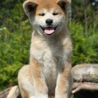 Akita inu puppy — Stock Photo #11799738