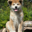 Akita inu puppy - Stock Photo