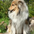 Shetland Sheepdog on a tree stump — Stok fotoğraf