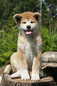 Akita inu puppy — Stock Photo