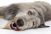 Irish Wolfhound dog — Stock Photo
