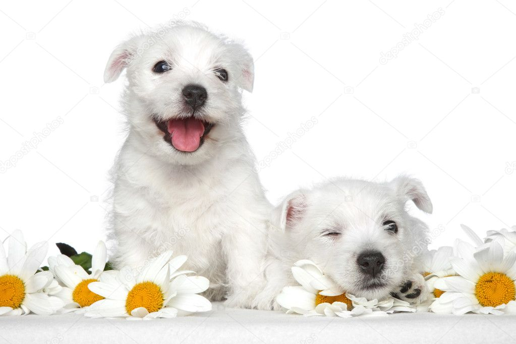 Happy dog puppies in daisies on a white background — Stock Photo #11799734