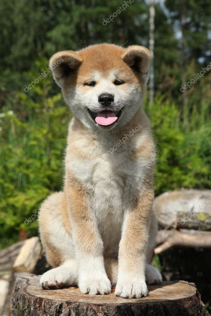 Akita inu puppy sitting on a tree stump. outdoor shoot   #11799738