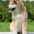 Akita inu puppy posing outdoor — Stockfoto