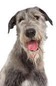 Irish Wolfhound dog portrait — Stock Photo
