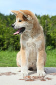 Akita inu puppy posing outdoor — Stock Photo