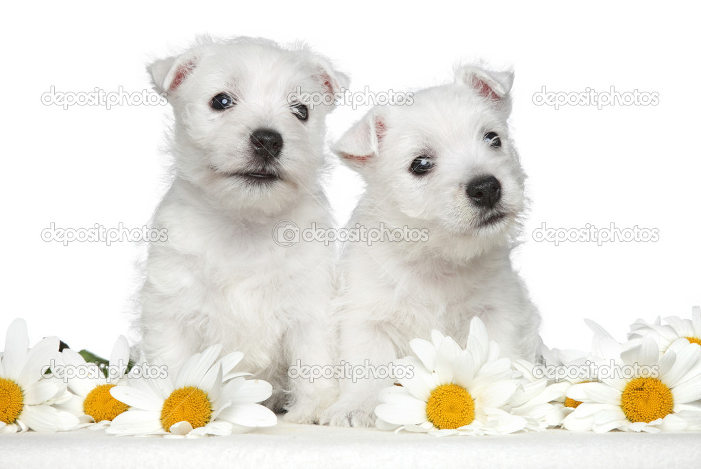West highland white terrier puppies posing in daisies on a white background  Stock Photo #12016955
