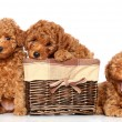 Stock Photo: Toy poodle puppies