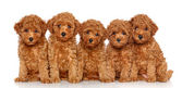 Toy Poodle puppies on a white background — Stock Photo