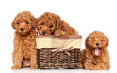 Toy poodle puppies — Stock Photo