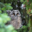 Young owl — Stock Photo #10917239