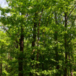 Green trees in the forest — Stock Photo