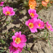 Foto Stock: Bright flowers - portulaca