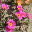 Stockfoto: Bright flowers - portulaca