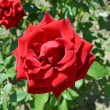 Stock Photo: Red rose in garden in sunny day