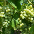 Foto Stock: Grapes grown in garden
