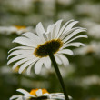 Nice daisies — Stock Photo #11026421