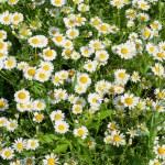 Daisy on grass — Stock Photo