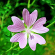 Violet flower — Stock Photo #11845708