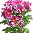 Flower of pink chrysanthemum — Stock Photo