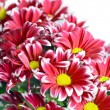 Chrysanthemum — Stock Photo #11166362