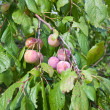 Plums on a branch — Stock Photo