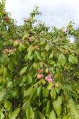 Green unripe plums on a branch — Stock Photo